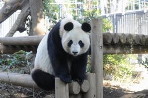 ジャイアントパンダ/写真:(公財)東京動物園協会